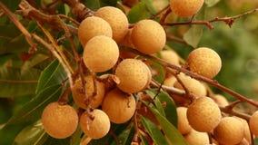 Gli agricoltori hanno raccolto i frutti del longan sugli alberi stock footage