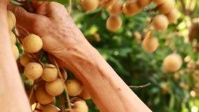 Gli agricoltori hanno raccolto i frutti del longan sugli alberi archivi video
