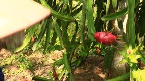 Gli agricoltori hanno raccolto il drago stock footage