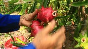 Gli agricoltori hanno raccolto il drago archivi video
