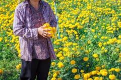 Gli agricoltori lavora nel fiore, campo del tagete Fotografia Stock Libera da Diritti