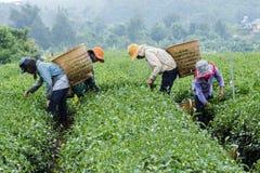 Gli agricoltori lavorano al campo del tè, Bao Loc, Lam Dong, Vietnam Fotografia Stock