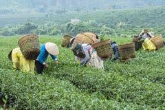 Gli agricoltori lavorano al campo del tè, Bao Loc, Lam Dong, Vietnam Fotografie Stock