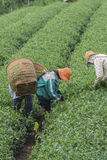 Gli agricoltori lavorano al campo del tè, Bao Loc, Lam Dong, Vietnam Fotografia Stock Libera da Diritti