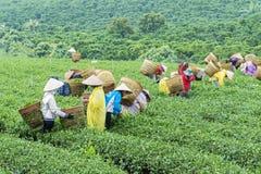 Gli agricoltori lavorano al campo del tè, Bao Loc, Lam Dong, Vietnam Immagine Stock