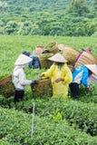Gli agricoltori lavorano al campo del tè, Bao Loc, Lam Dong, Vietnam Fotografie Stock Libere da Diritti