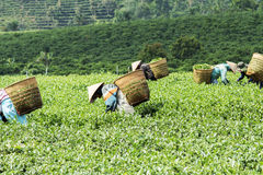 Gli agricoltori lavorano al campo del tè, Bao Loc, Lam Dong, Vietnam Immagine Stock Libera da Diritti