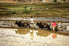 Gli agricoltori nepalesi coltivano il campo sui buoi immagini stock