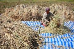 Gli agricoltori non identificati che raccolgono riso Fotografia Stock Libera da Diritti