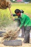 Gli agricoltori non identificati che raccolgono riso Fotografia Stock