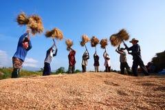 Gli agricoltori non identificati che raccolgono riso Immagini Stock Libere da Diritti