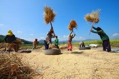 Gli agricoltori non identificati che raccolgono riso Fotografie Stock