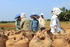 Gli agricoltori non identificati fanno i lavori dopo il raccolto nelle loro risaie Immagini Stock Libere da Diritti