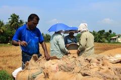 Gli agricoltori non identificati fanno i lavori dopo il raccolto nelle loro risaie Fotografia Stock Libera da Diritti