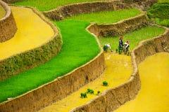 Gli agricoltori non identificati fanno il lavoro dell'agricoltura sui loro campi il 13 giugno 2015 in MU Cang Chai, Yen Bai, Viet Immagini Stock