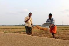Gli agricoltori non identificati si impegna nei lavori dopo il raccolto nelle risaie Fotografie Stock Libere da Diritti