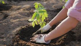 Gli agricoltori passa la zappatura del suolo intorno alla piantina del pomodoro fotografie stock libere da diritti