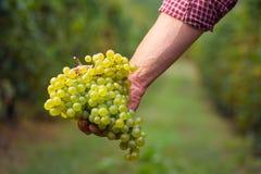 Gli agricoltori passano con il mazzo dell'uva bianca Immagine Stock