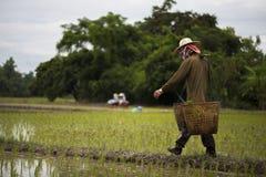 Gli agricoltori portano il canestro di bambù che contiene le piantine per piantare Fotografia Stock Libera da Diritti