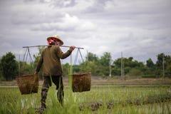 Gli agricoltori portano il canestro di bambù che contiene le piantine per piantare Immagine Stock