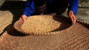 Gli agricoltori puliscono il grano in un canestro stock footage