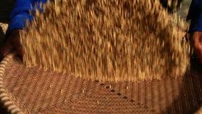 Gli agricoltori puliscono il grano in un canestro video d archivio