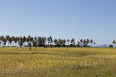 Gli agricoltori raccolgono il riso al giacimento del riso dell'isola del KOH-Sukorn Immagine Stock