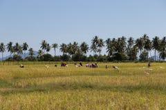 Gli agricoltori raccolgono il riso al giacimento del riso dell'isola del KOH-Sukorn Fotografia Stock