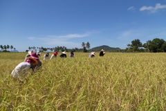 Gli agricoltori raccolgono il riso al giacimento del riso dell'isola del KOH-Sukorn Fotografia Stock Libera da Diritti