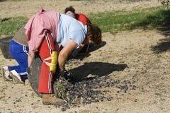 Gli agricoltori scaricano le olive in un mucchio sul pavimento Immagine Stock