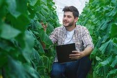 Gli agricoltori sono coltivanti e raccoglienti le verdure Immagini Stock