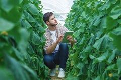 Gli agricoltori sono coltivanti e raccoglienti le verdure Immagine Stock