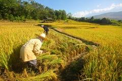 Gli agricoltori sono su riso Fotografie Stock Libere da Diritti