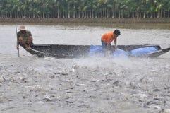Gli agricoltori stanno alimentando il pesce gatto di pangsius nel loro stagno nel delta del Mekong del Vietnam Fotografie Stock