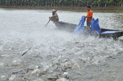 Gli agricoltori stanno alimentando il pesce gatto di pangsius nel loro stagno nel delta del Mekong del Vietnam Fotografie Stock Libere da Diritti