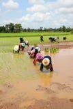 Gli agricoltori stanno coltivando il riso appiccicoso Fotografie Stock