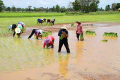 Gli agricoltori stanno coltivando il riso appiccicoso Fotografia Stock