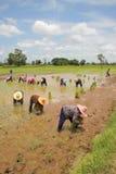 Gli agricoltori stanno coltivando il riso appiccicoso Fotografia Stock Libera da Diritti