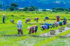 Gli agricoltori stanno coltivando il riso sulla risaia Immagine Stock