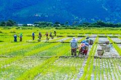 Gli agricoltori stanno coltivando il riso sulla risaia Fotografie Stock Libere da Diritti