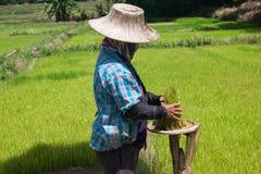 Gli agricoltori stanno coltivando l'albero del riso Fotografia Stock