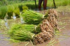 Gli agricoltori stanno coltivando l'albero del riso Immagini Stock Libere da Diritti