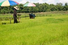 Gli agricoltori stanno coltivando l'albero del riso Immagine Stock