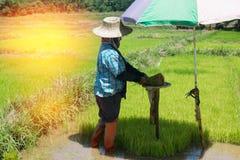 Gli agricoltori stanno coltivando l'albero del riso Immagine Stock Libera da Diritti
