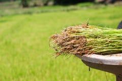 Gli agricoltori stanno coltivando l'albero del riso Fotografia Stock Libera da Diritti