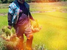Gli agricoltori stanno coltivando l'albero del riso Fotografie Stock Libere da Diritti