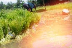 Gli agricoltori stanno coltivando l'albero del riso Immagini Stock