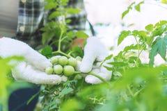 Gli agricoltori stanno controllando la qualità dei prodotti agricoli immagini stock