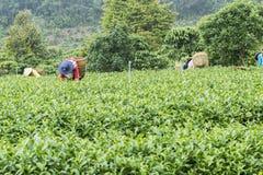 Gli agricoltori stanno lavorando al campo del tè Immagini Stock
