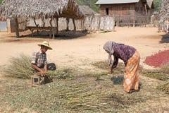 Gli agricoltori stanno lavorando i raccolti in un villaggio, Myanmar Fotografie Stock